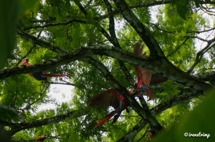 Super cool stuff that kids love to do in Costa Rica - spotting macaws in the wild