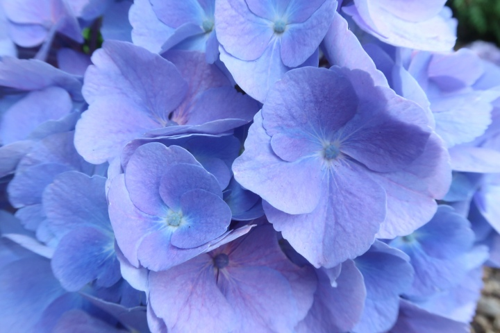 Blue hydrangea close up